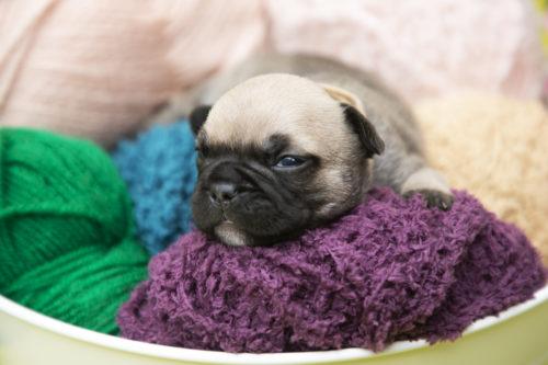 #bringer bouledog#puppy #chiot